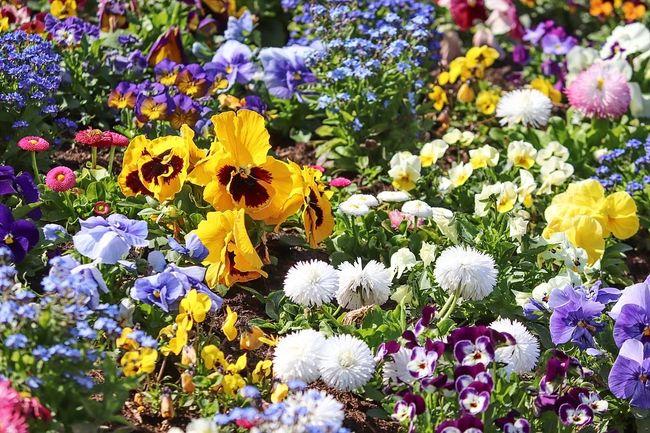 Многоцветие на клумбе