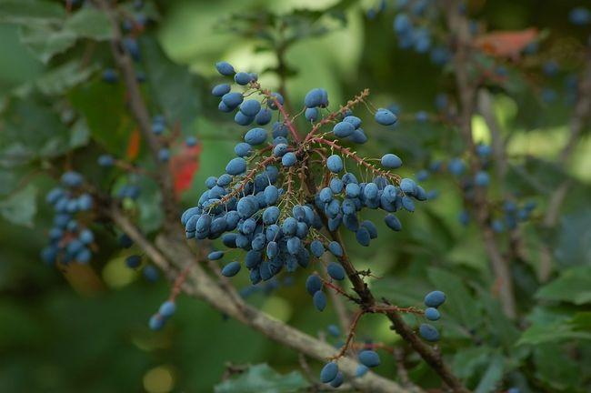 Описание ягод Магонии падуболистной