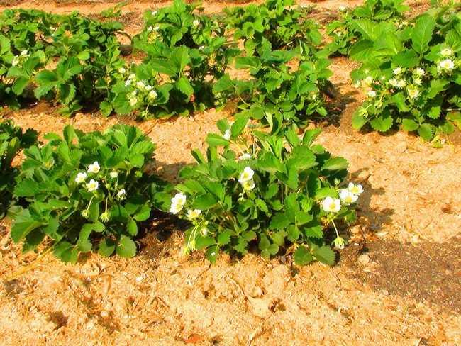 Как влияют опилки на почву