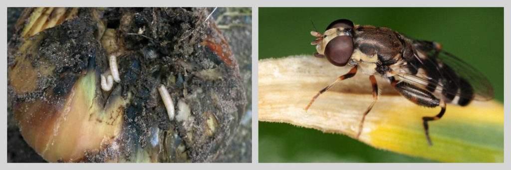Личинки и луковая муха