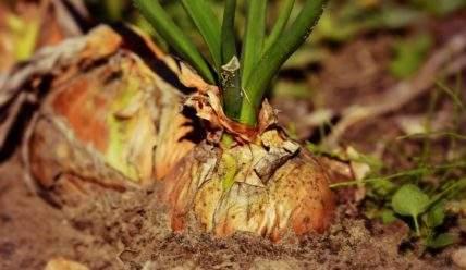 Какие вредители и болезни могут оставить вас без урожая лука