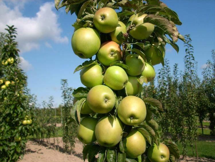 Колоновидная яблоня - Президент