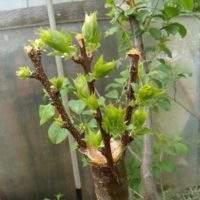 Что сделать, чтобы прививка на плодовом дереве точно прижилась