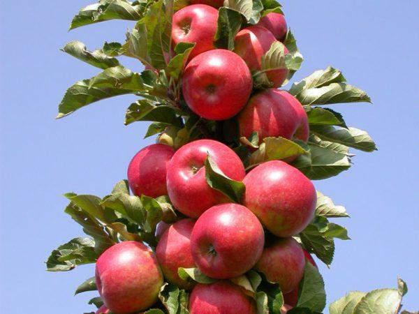 Колоновидная яблоня - Останкино