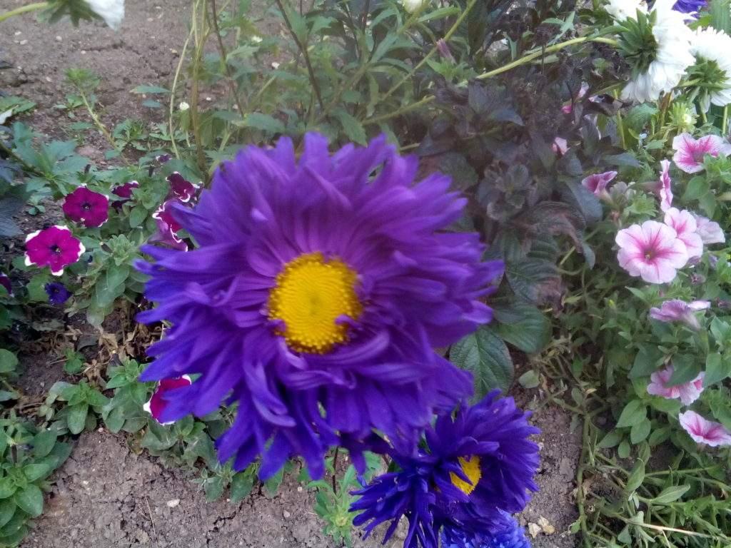 Астра. Статья: Какие цветы посадить осенью семенами?