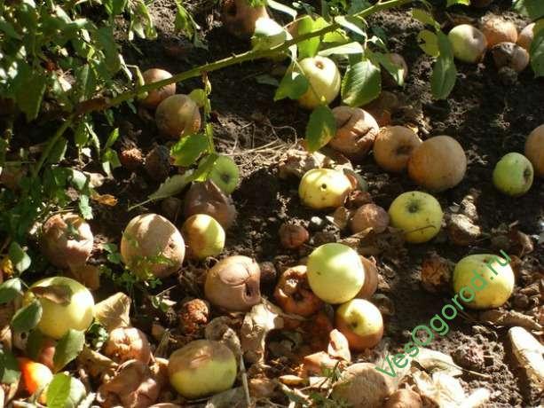 Опавшие яблоки