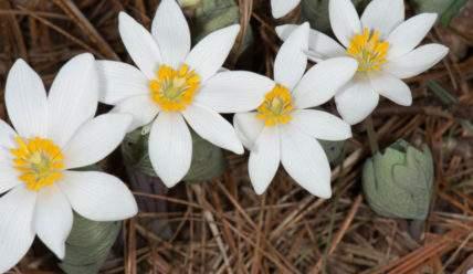 Сангвинария канадская — экзотический цветок на даче
