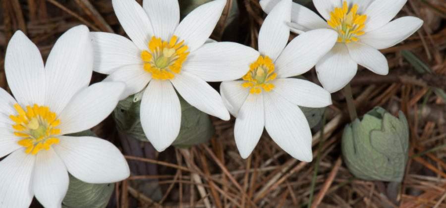 Сангвинария канадская – экзотический цветок на даче