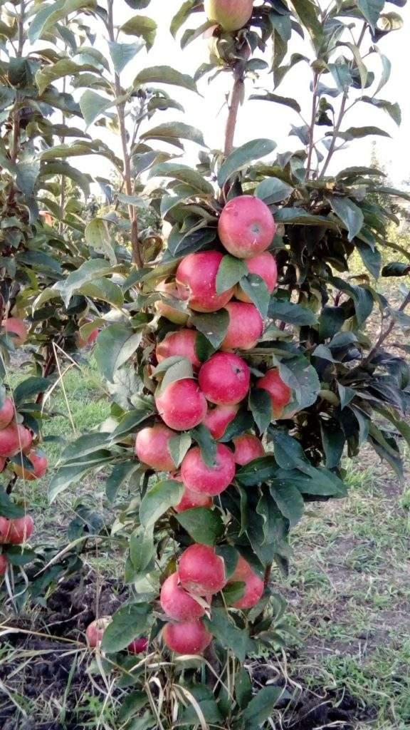 Колоновидная яблоня - Васюган
