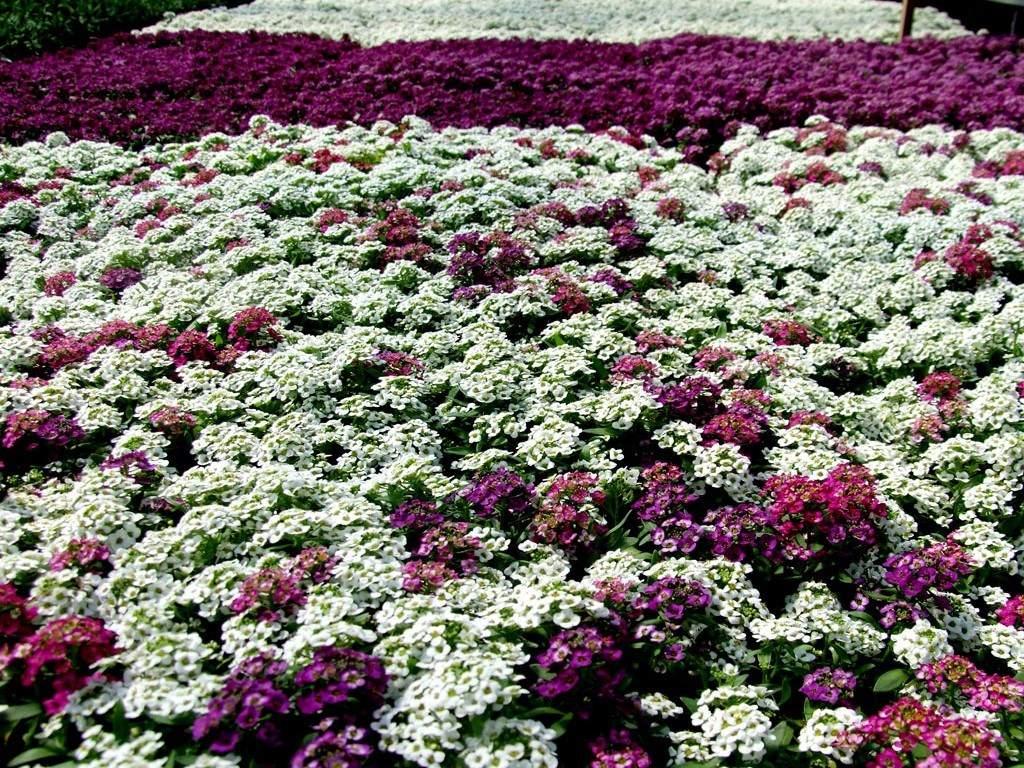 Алиссум. Цветы которые садить осенью.