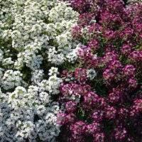 Выращивание алиссума на открытом грунте