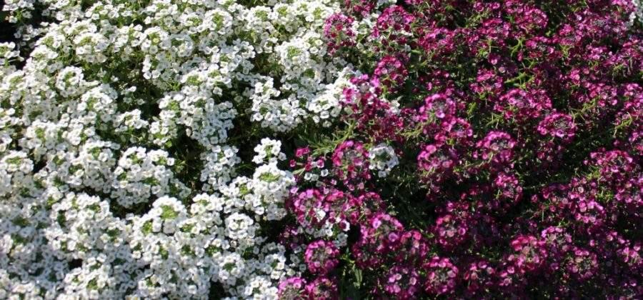 Как вырастить Алиссум – Описание, уход и размножение цветка
