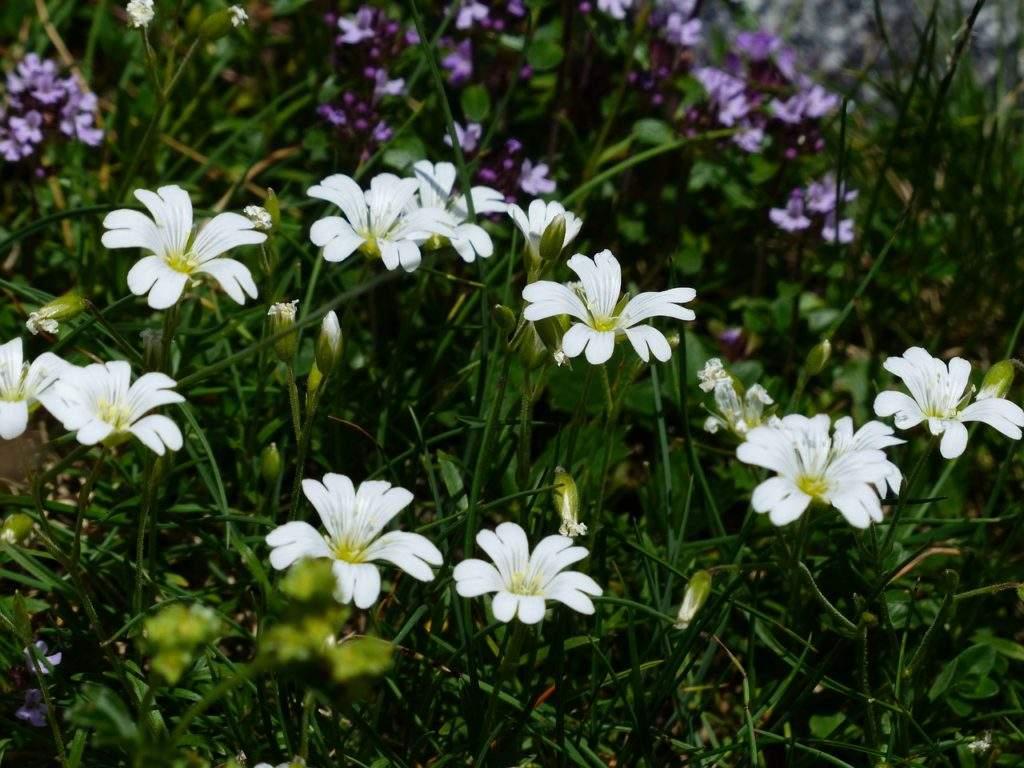 Садовый цветок - ясколка войлочная