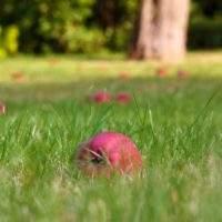 Когда можно использовать падалицу как удобрение для огорода