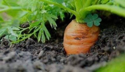 Как правильно выкапывать морковь