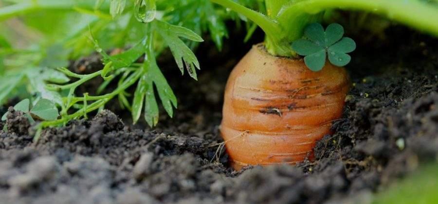 Проверьте правильно ли вы выкапываете морковь
