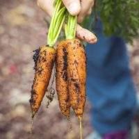 Корявая морковь: причины и как этого избежать