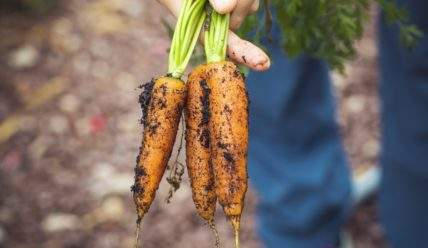 Почему морковь растет корявой