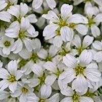 Ясколка войлочная — отличный садовый цветок