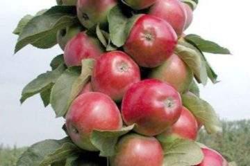 Колоновидная яблоня - Валюта