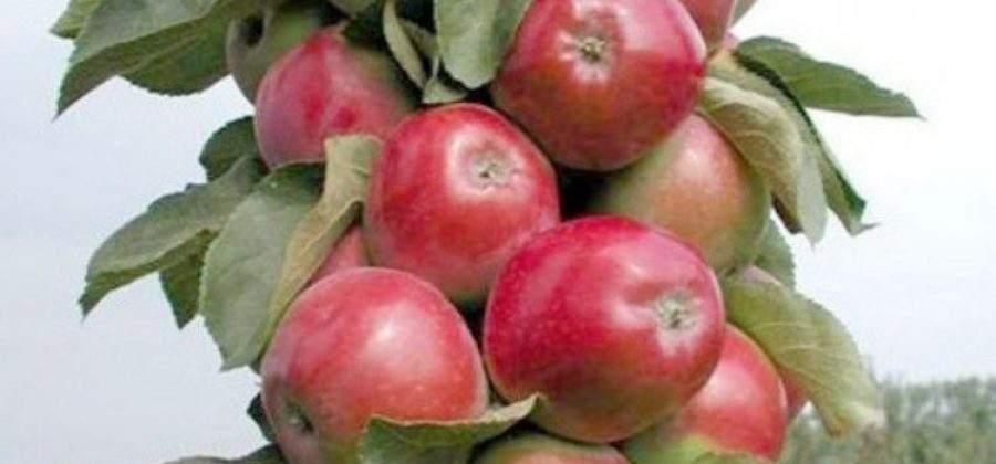 Колоновидная яблоня — спасение для небольших участков
