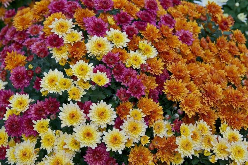Хризантемы. Какие цветы сажать осенью?