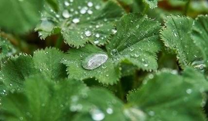Трава манжетка: выращивание, уход и полезные свойства растения.