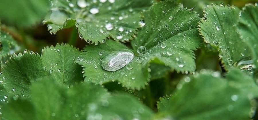 Как посадить, ухаживать и размножить Манжетку
