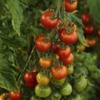 Как увеличить урожайность помидор