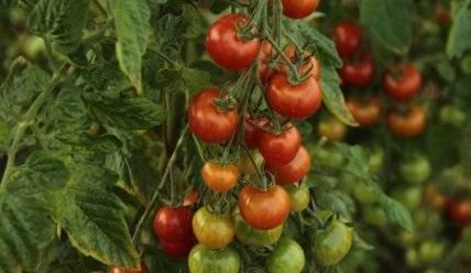 Повышаем среднюю урожайность помидор: 4 способа собрать больше томатов