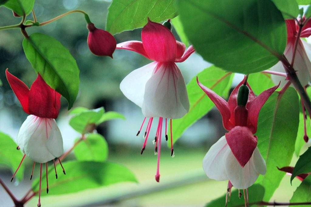 Садовый цветок - Фуксия