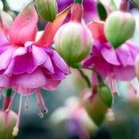 Как вырастить Фуксию в саду, ухаживать за ней и как размножать цветок черенками