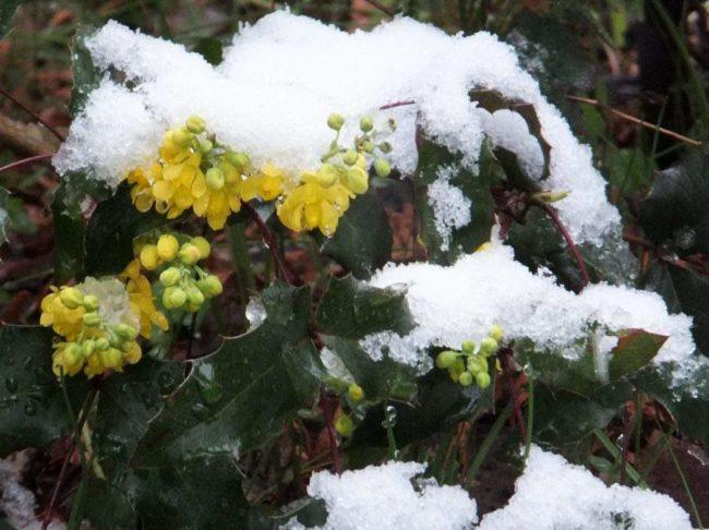 Магония падуболистная зимой