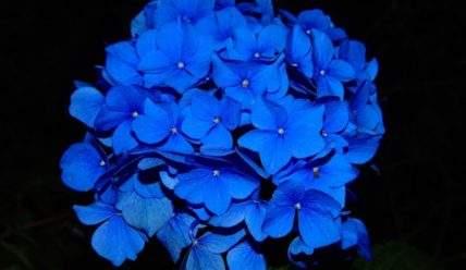 Простые приемы сменить цвет у лепестков гортензии