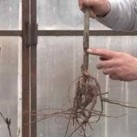 Самостоятельно определяем корневую шейку на саженце
