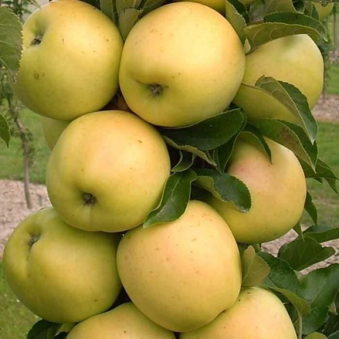 Колоновидная яблоня - Медок