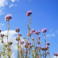 Сидерат — фацелия: Повышаем урожай