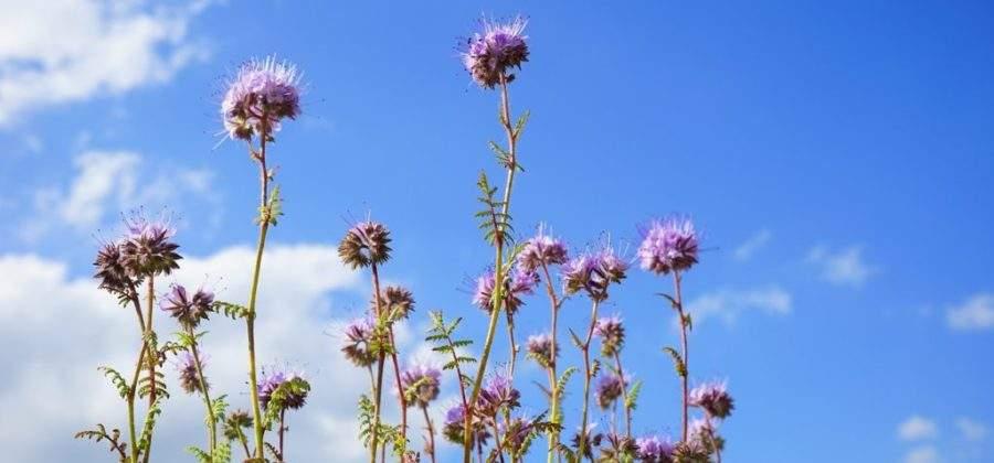 Фацелия: посадка семян, уход за растением и заделывание в землю скошенной травы