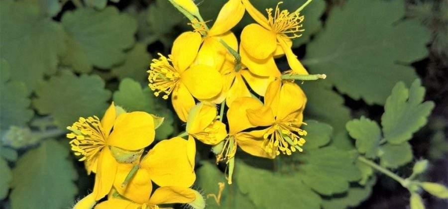 Чистотел — отличное средство от вредителей на огороде