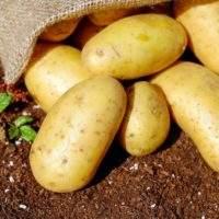 Как вырастить семенной картофель