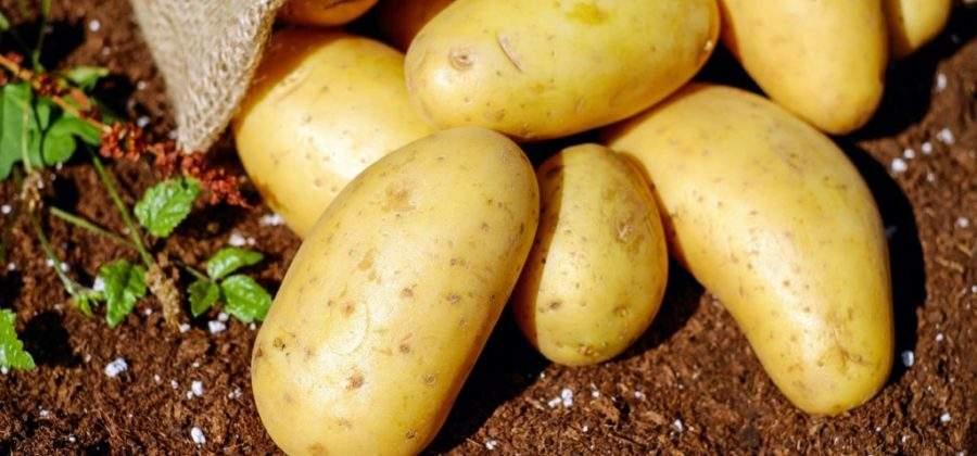 Выращивание семенного картофеля: посадка, выращивание уход и хранение посадочного материала
