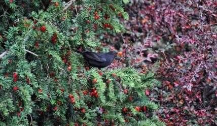Описание Тиса ягодного: где лучше посадить тис и в чем его декоративность