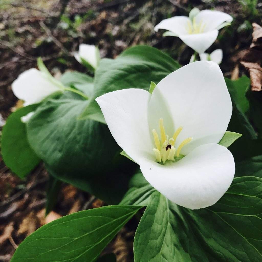 Триллиум - садовый цветок