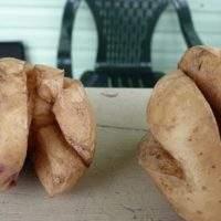 Почему при выращивании потрескалась картошка: причины и способы исправления ситуации