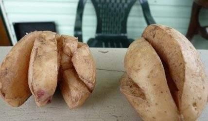 Почему картошка трескается в земле