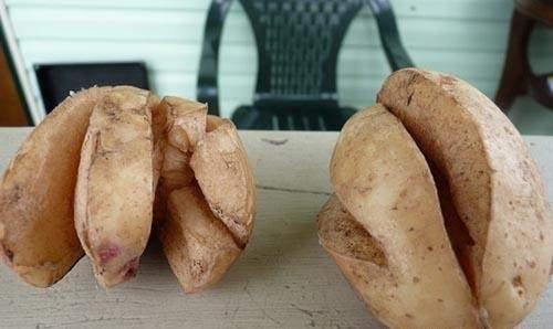 Трескается картошка
