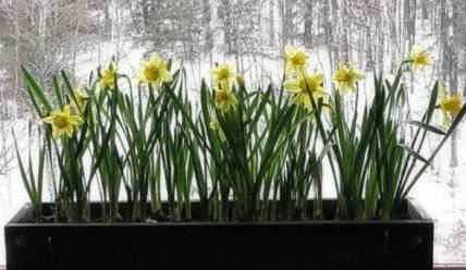 Выгонка растений. Зимнее цветение — реально.