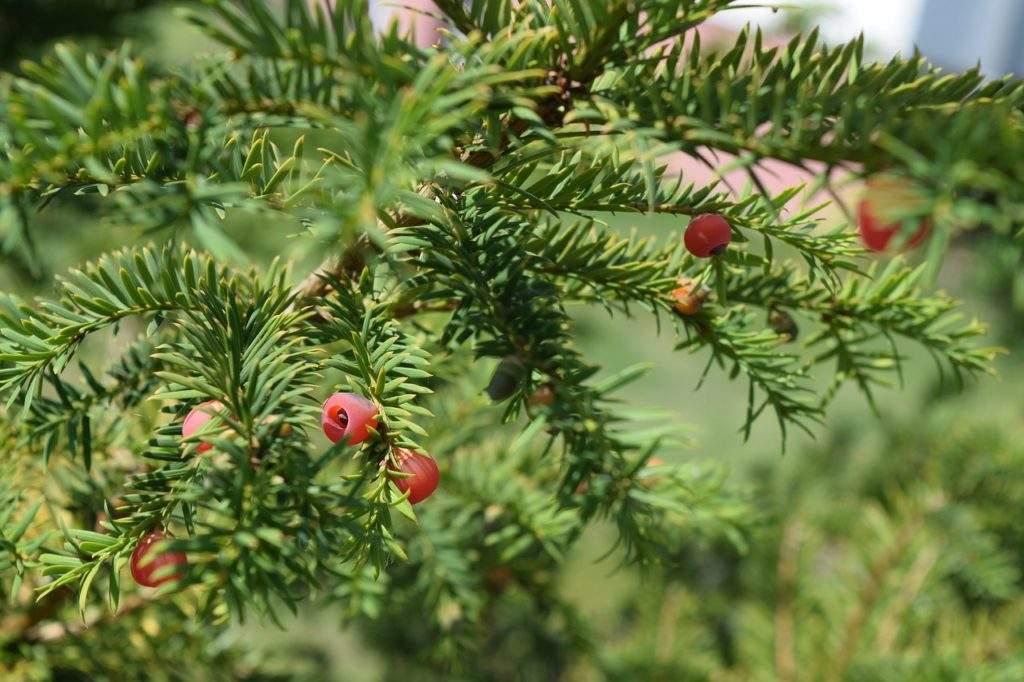 Плоды тиса ягодного