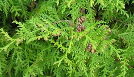 Как вырастить тую западную, как ухаживать за ней и размножать растение