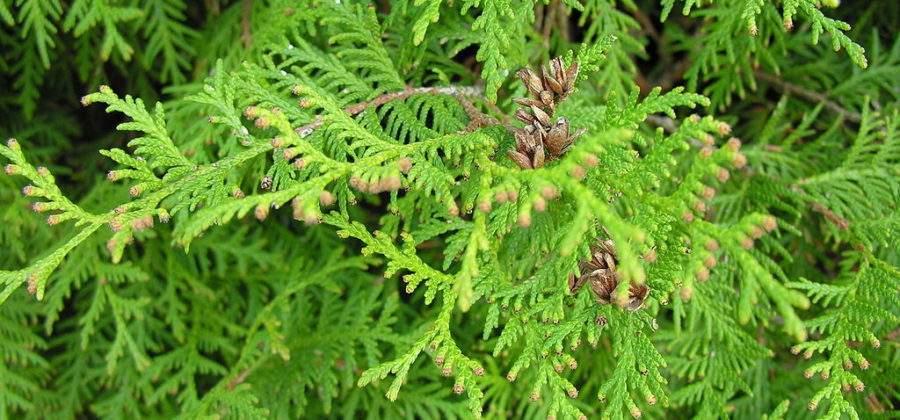Как вырастить Тую западную, как ухаживать за и размножать растение